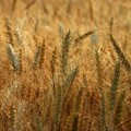 wheat biomass for bio-crude oil